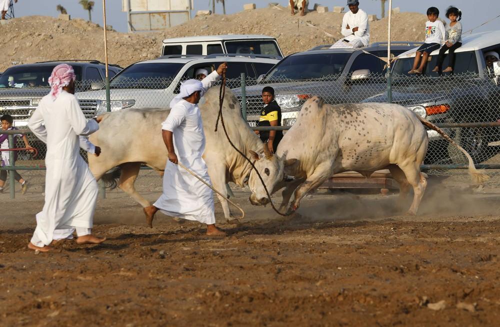 Бои быков в Фуджейре