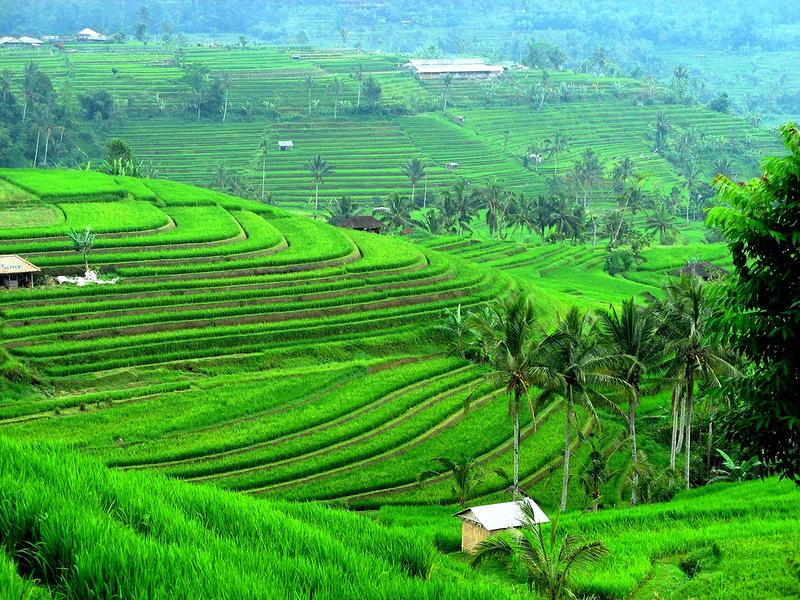 Рисовые террасы, Бали