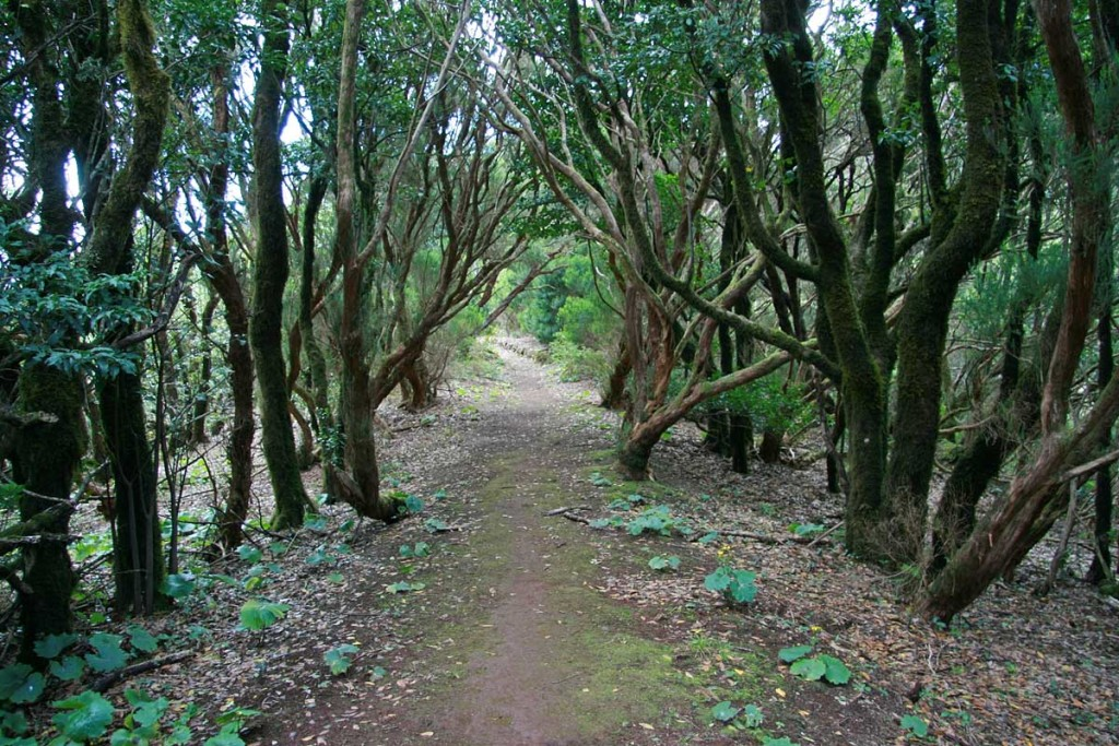 Лавровый лес, Тенерифе