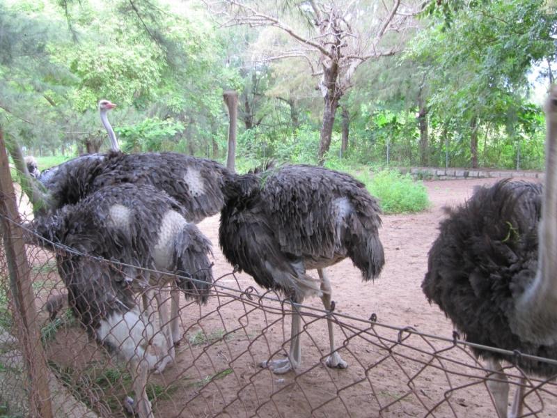 Остров страусов